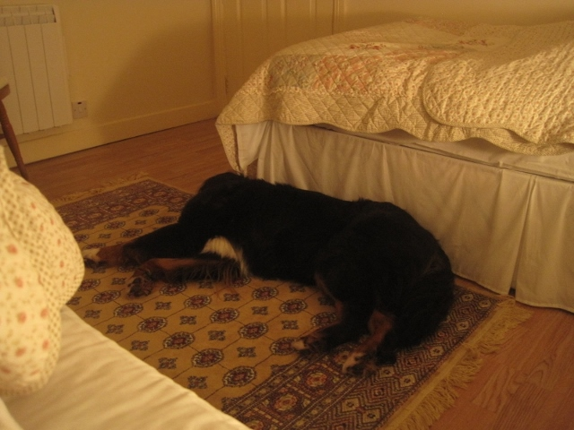 Sleepy time _ Bernese Mountain Dog