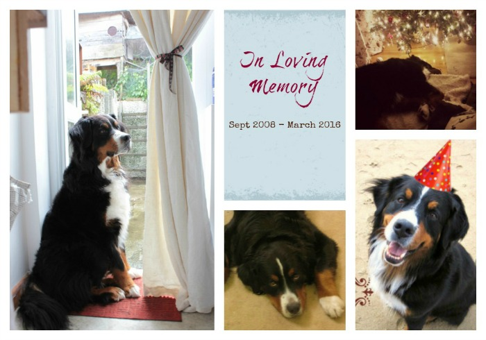 Doopey Bernese Mountain Dog RIP